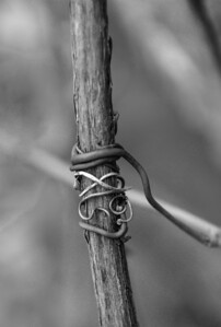 the vines have a strong grip