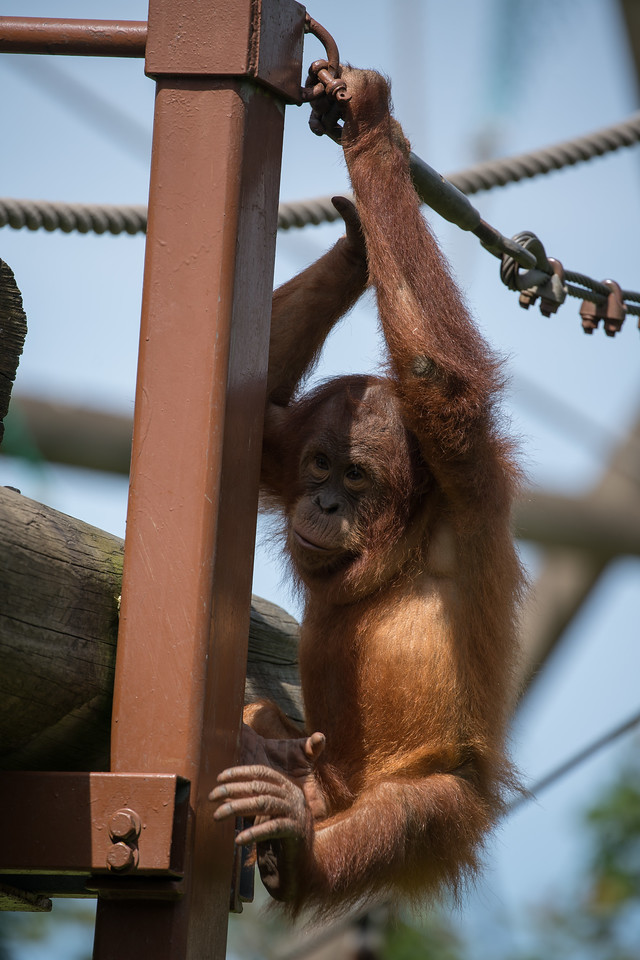 Animals, Jersey, Orangutan, Sumatran Orangutan; Jersey Zoo,,Trinity,Jersey