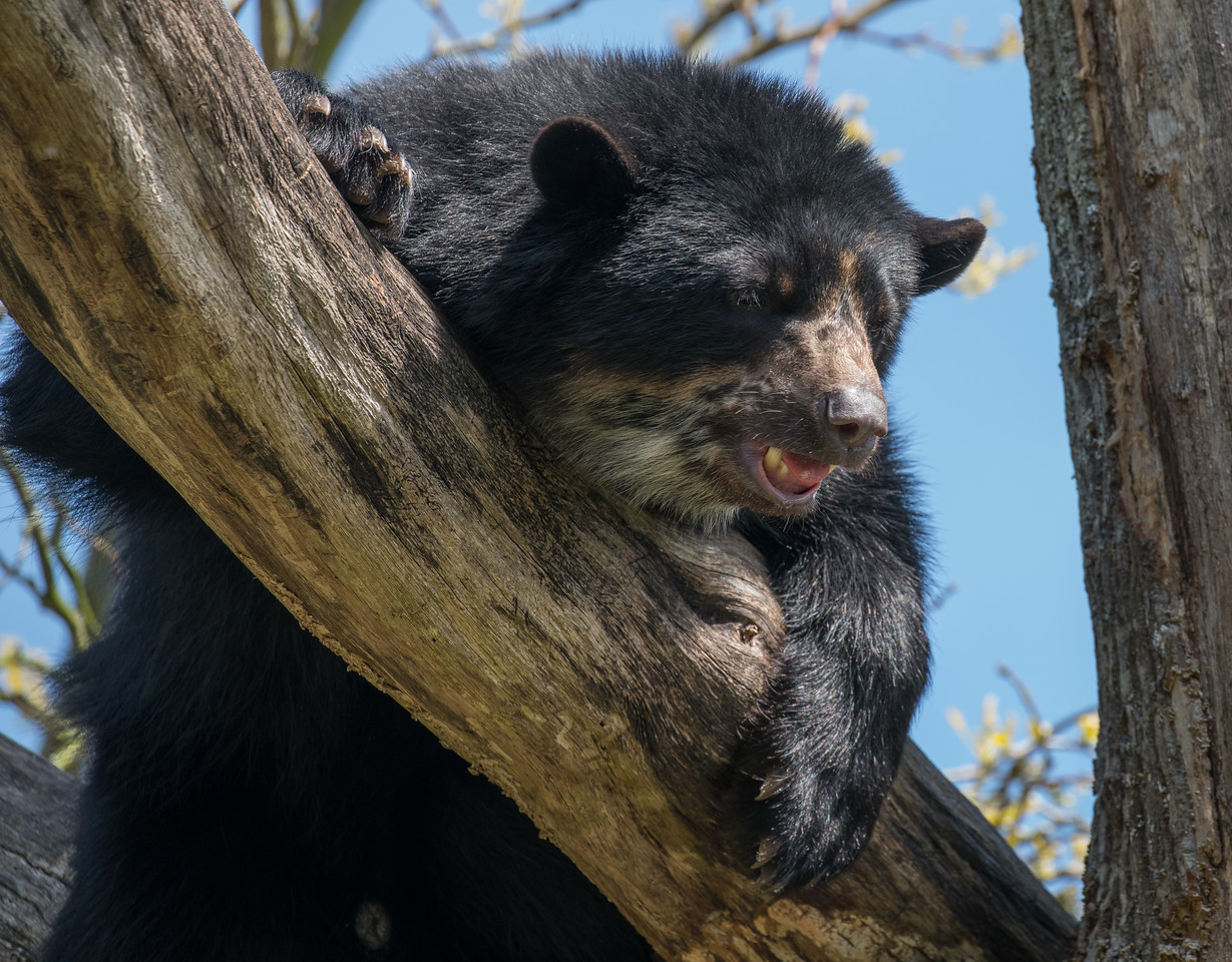 Andean Bear, Animals, Jersey, Spectacled Bear; Jersey Zoo,,Trinity,Jersey