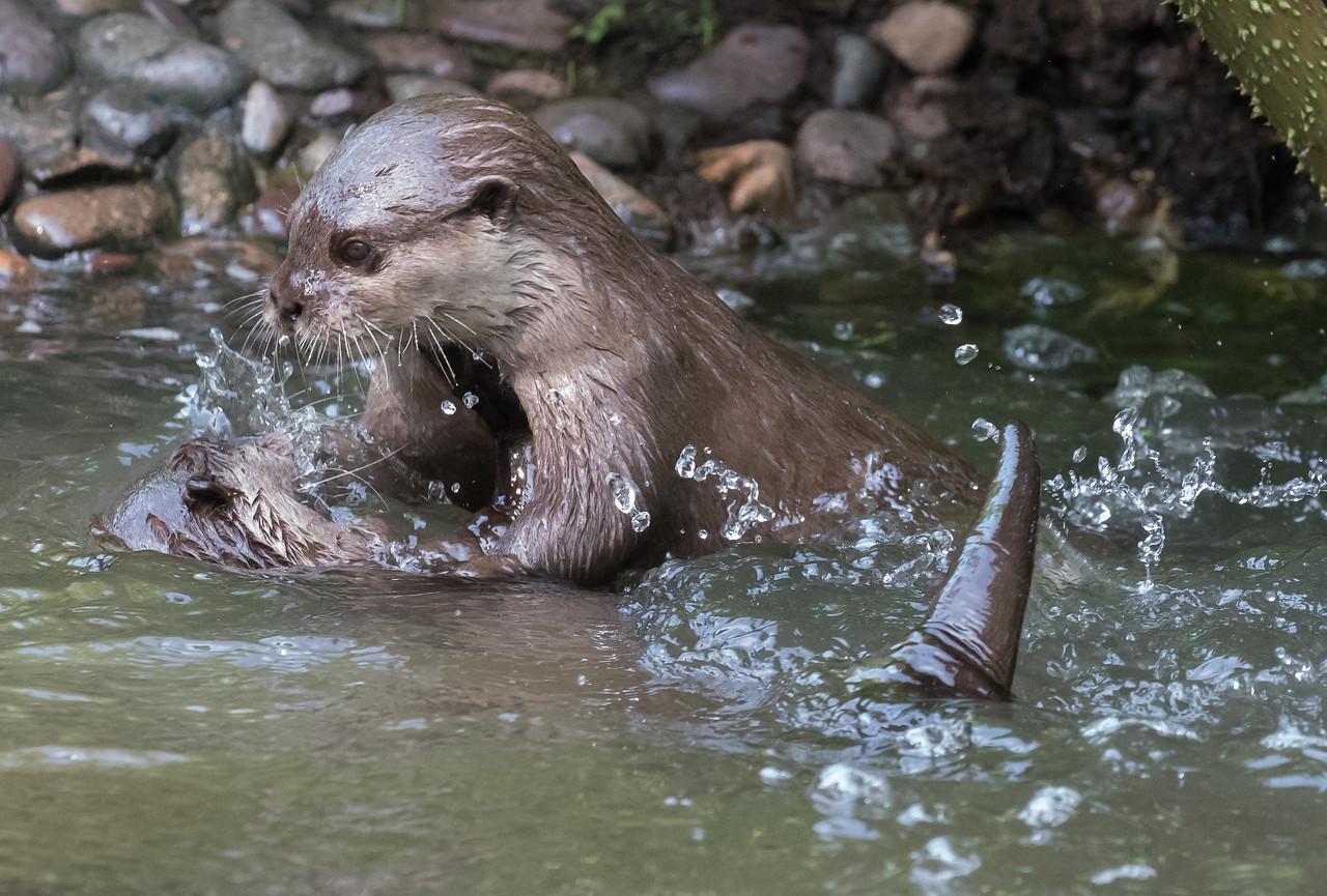 Animals, Jersey, Oriental Short-Clawed Otter, Otter; Jersey Zoo,,Trinity,Jersey