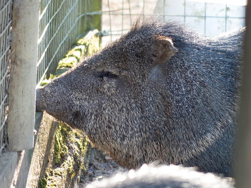 Animals, Collared Peccary, Marwell Zoo - 02/02/2013