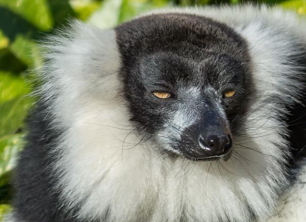 Animals, Black and White Ruffed Lemur, Lemur, Marwell Zoo - 02/02/2013