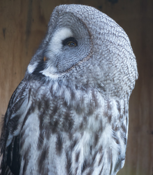Animals, Birds, Great Grey Owl, Marwell Zoo, Owl - 02/02/2013