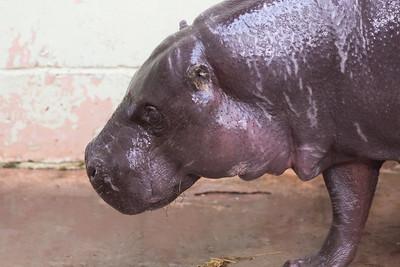 Animals, Hippopotomus, Marwell Zoo, Pygmy Hippo - 02/04/2013