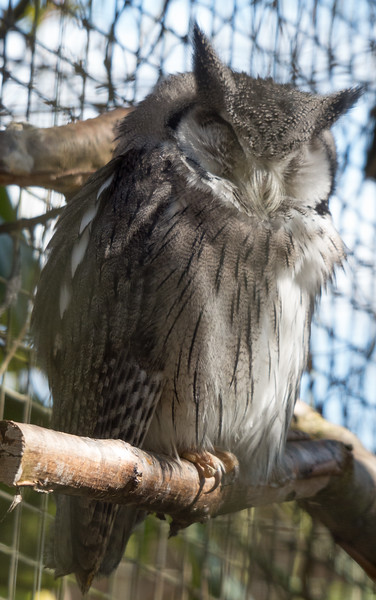 Animals, Birds, Marwell Zoo, Northern White Faced Owl, Owl - 02/04/2013