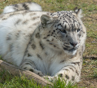 Animals, Big Cat, Leopard, Marwell Zoo, Snow Leopard - 02/04/2013