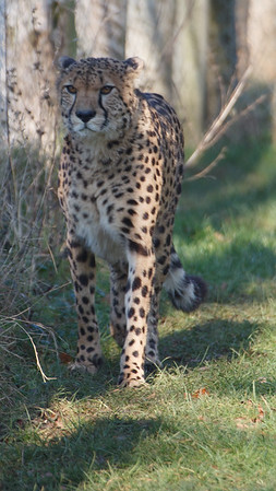 Animals, Big Cat, Cheetah, Marwell Zoo - 03/01/2009