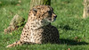 Animals, Big Cat, Cheetah, Marwell Zoo @ Marwell Zoo, City of Winchester,England