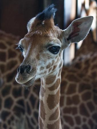 Animals, Giraffe, Marwell Zoo, Rothschilds Giraffe - 12/06/2008