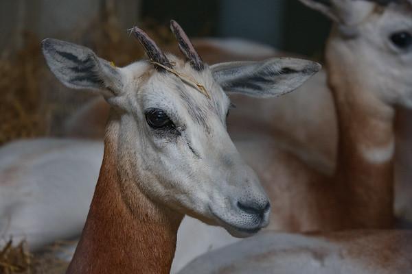 Animals, Dama Gazelle, Gazelle, Marwell Zoo - 12/06/2008