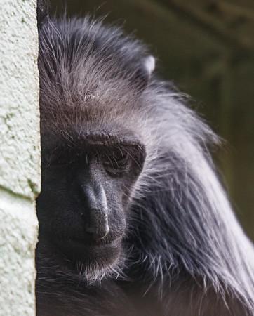 Animals, Diana Monkey, Marwell Zoo - 12/06/2008