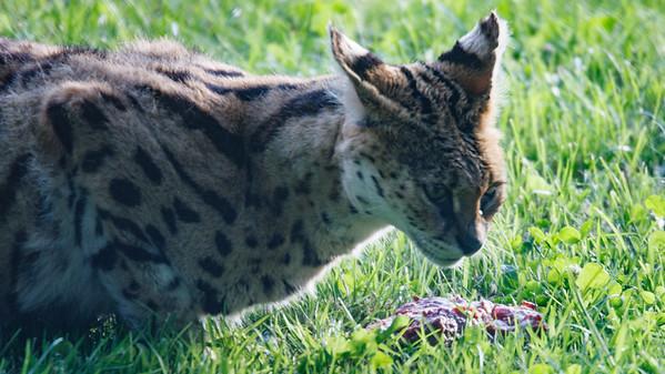 Animals, Big Cat, Marwell Zoo, Serval - 12/06/2008