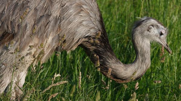 Animals, Birds, Greater Rhea, Marwell Zoo - 12/06/2008