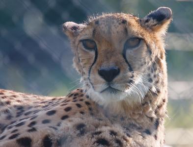 Animals, Big Cat, Cheetah, Marwell Zoo - 12/06/2008