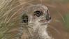 Animals, Marwell Zoo, Meerkat, Slende-tailed Meerkat @ Colden Common, City of Winchester,England