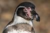 Animals, Birds, Humboldt, Marwell Zoo, Penguin @ Colden Common, City of Winchester,England