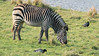 Animals, Marwell Zoo, Zebra @ Colden Common, City of Winchester,England