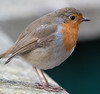 Animals, Birds, Marwell Zoo, Robin @ Colden Common, City of Winchester,England