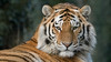 Amur, Animals, Big Cat, Marwell Zoo, Siberian Tiger, Tiger @ Colden Common, City of Winchester,England