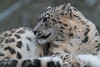 Animals, Big Cat, Leopard, Marwell Zoo, Snow Leopard @ Colden Common, City of Winchester,England
