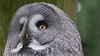 Animals, Birds, Great Grey Owl, Marwell Zoo, Owl @ Colden Common, City of Winchester,England