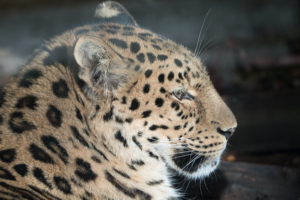 Amur Leopard, Animals, Big Cat, Leopard, Marwell Zoo; ,,,