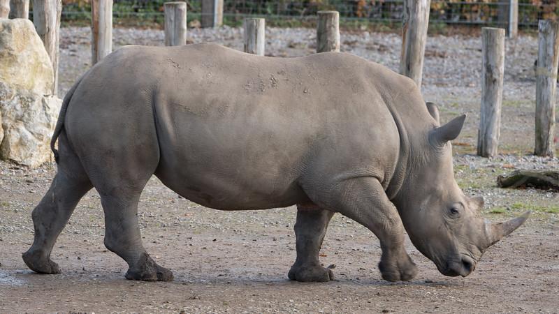 Animals, Marwell Zoo, White Rhinoceros; ,,,