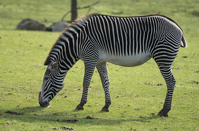 Animals, Marwell Zoo, Zebra; ,,,