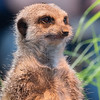 Animals, Marwell Zoo, Meerkat, Slende-tailed Meerkat; ,,,