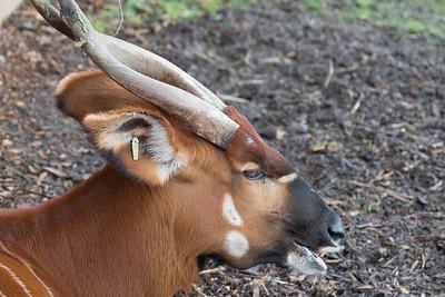 Animals, Marwell Zoo, Mountain Bongo; ,,,