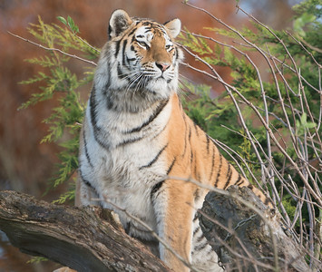 Amur Tiger, Animals, Big Cat, Marwell Zoo, Siberian Tiger, Tiger - 19/11/2017