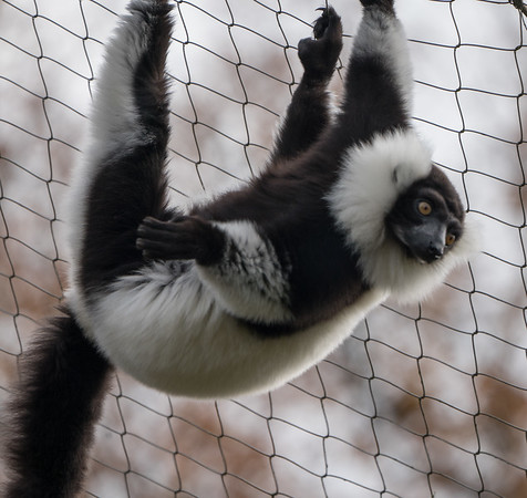 Animals, Black and White Ruffed Lemur, Lemur, Marwell Zoo