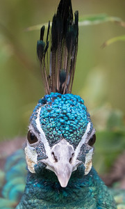 Animals, Birds, Green Peafowl, Marwell Zoo; ,,,