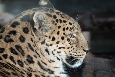 Amur Leopard, Animals, Big Cat, Leopard, Marwell Zoo; ,,,