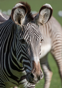 Animals, Grevy's Zebra, Marwell Zoo, Zebra - 20/02/2005
