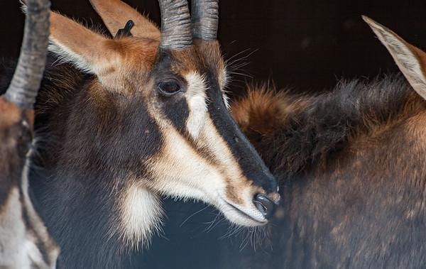 Animals, Antelope, Marwell Zoo, Roan Antelope - 20/02/2005