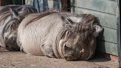 Animals, Marwell Zoo, Warthog - 20/02/2005