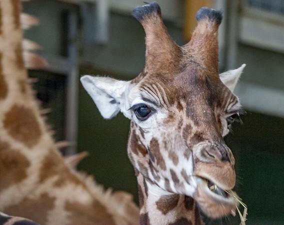 Animals, Giraffe, Marwell Zoo, Rothschilds Giraffe - 20/02/2005