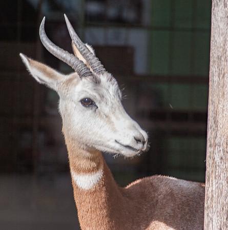 Animals, Dama Gazelle, Gazelle, Marwell Zoo - 20/02/2005