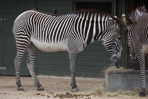 Animals, Marwell Zoo, Zebra - 20/03/2012