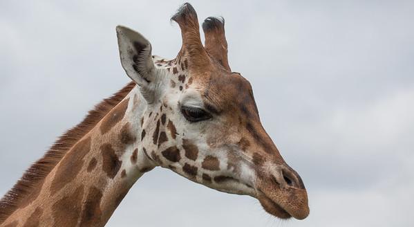 Animals, Giraffe, Rothschilds Giraffe - 20/03/2012