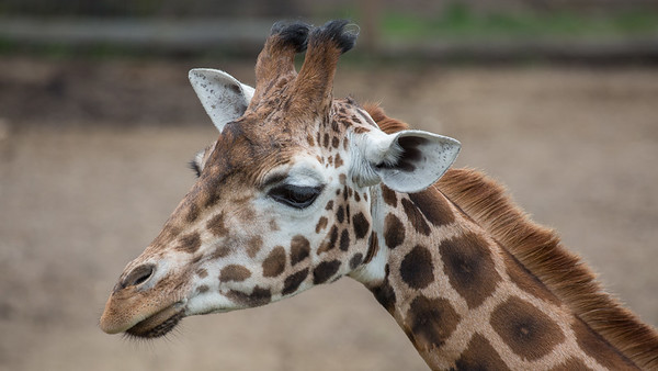 Animals, Giraffe, Marwell Zoo, Rothschilds Giraffe - 20/03/2012