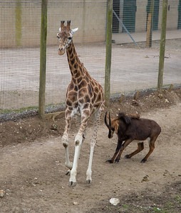 Animals, Antelope, Giraffe, Marwell Zoo, Rothschilds Giraffe, Sable Antelope - 20/03/2012