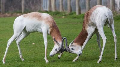 Animals, Dama Gazelle, Gazelle, Marwell Zoo - 20/03/2012