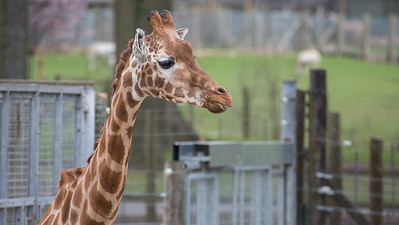 Animals, Giraffe, Marwell Zoo, Rothschilds Giraffe - 20/03/2012