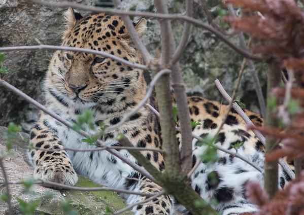 Amur Leopard, Animals, Big Cat, Leopard, Marwell Zoo - 20/03/2012