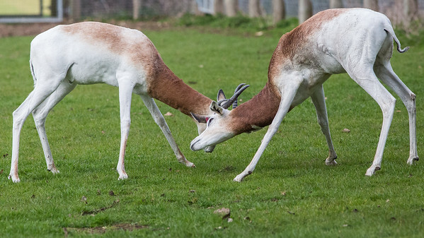 Animals, Dama Gazelle, Gazelle, Marwell Zoo - 20/03/2012