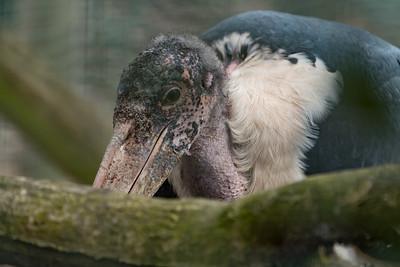 Animals, Birds, Marabou Stork, Marwell Zoo @ Marwell Zoo, City of Winchester,England - 22/03/2018