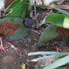 Animals, Birds, Crested Wood Partridge, Female, Marwell Zoo, Partridge, Tropical House - 22/03/2018