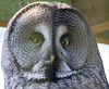 Animals, Birds, Great Grey Owl, Marwell Zoo, Owl @ Marwell Zoo, City of Winchester,England - 24/02/2018